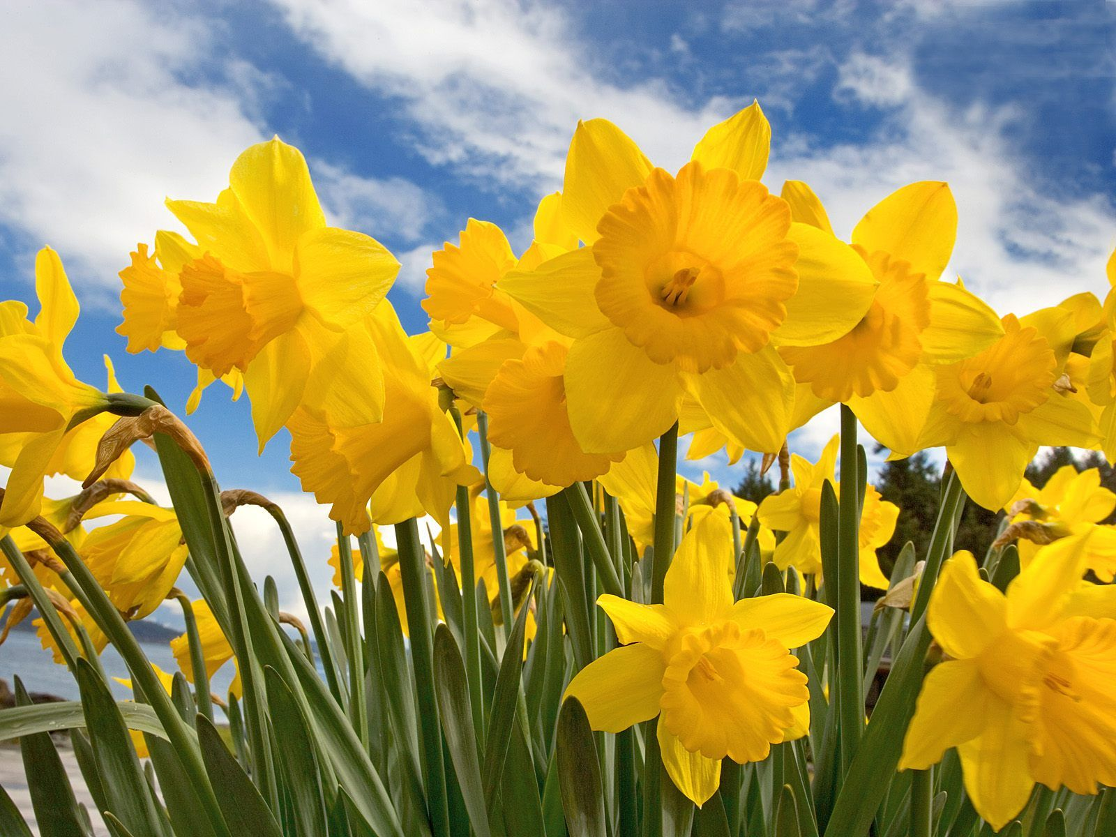 Daffodils by william wordsworthtailed revision notes for waec commentary buycottarizona
